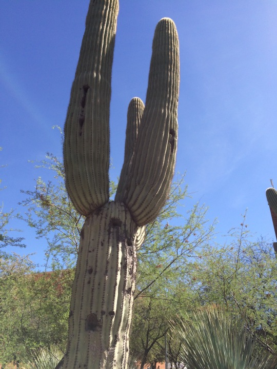 "This saguaro cactus towers over you. I'm told that the ""arms"" don't grow on it until its old...60 years or so."